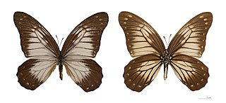 <i>Graphium encelades</i> species of insect