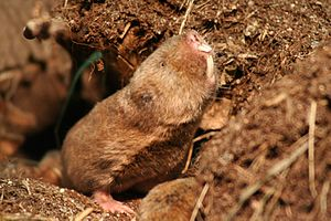 Ansell's mole-rat - Image: Graumull IMG 4042