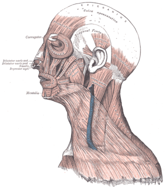 Orbicularis oris muscle - Image: Gray 378