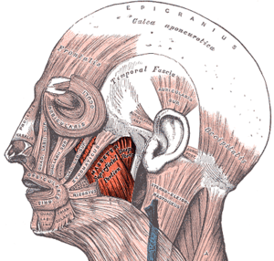 Masseter muscle - The left masseter muscle (red highlight), shown partially covered by superficial muscles such as the platysma muscle, the zygomaticus major muscle and the zygomaticus minor muscle.