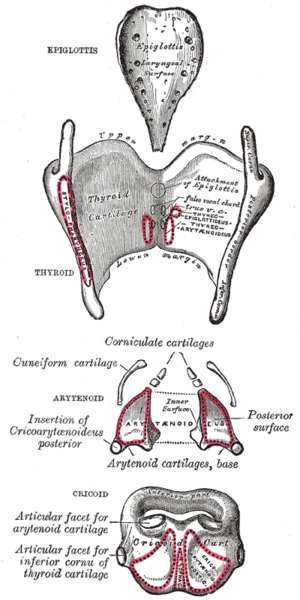 Vocal process - Posterior view of the cartilages of the larynx