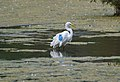 Great Egret with wing tags, Pennsylvania (14734739658).jpg