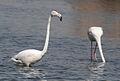 Greater Flamingo, Phoenicopterus roseus at Marievale Nature Reserve, Gauteng, South Africa (9711652796).jpg