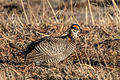 Greater Prairie Chicken (Tympanuchus cupido) (19730773283).jpg
