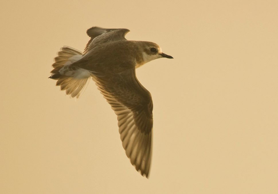 Greater Sand Plover at Kutch