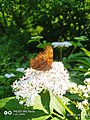 Greek butterflies3.jpg