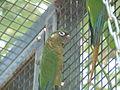 Green-cheeked Parakeet.jpg