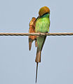 Green Bee-eater (Merops orientalis)- Preening at Sultanpur I Picture 001.jpg