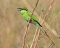 Green Bee-eater (Merops orientalis) with a Dragonfly, AP W IMG 1629.jpg