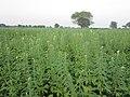 Green Crop - panoramio.jpg