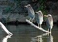 Green Herons - Butorides virescens - juveniles 168974991.jpg