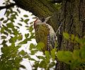 Green woodpecker (20517747960).jpg