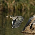 Greenbacked heron fly by (36569102765).jpg