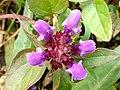 Grenchenberg - Prunella vulgaris.jpg