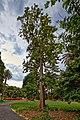 Grevillea Robusta - panoramio.jpg