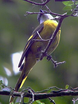 Grey-chinned Minivet.jpg