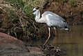 Grey Heron, Ardea cinerea, at Pilanesberg National Park, Northwest Province, South Africa (28462960882).jpg