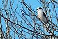 Grey Jay (Perisoreus canadensis) (115660696).jpg
