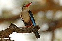 Greyheadkingfisher