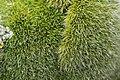 Grimmia alpestris (a, 113335-471123) 1448.JPG