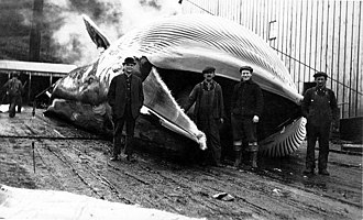 Akutan, Alaska - Men standing by dead whale at Alutan Harbor whaling station, 1914