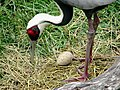 Grus vipio -Columbus Zoo, Powell, Ohio, USA -egg-8a.jpg