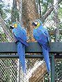 Guacamayas azules.JPG
