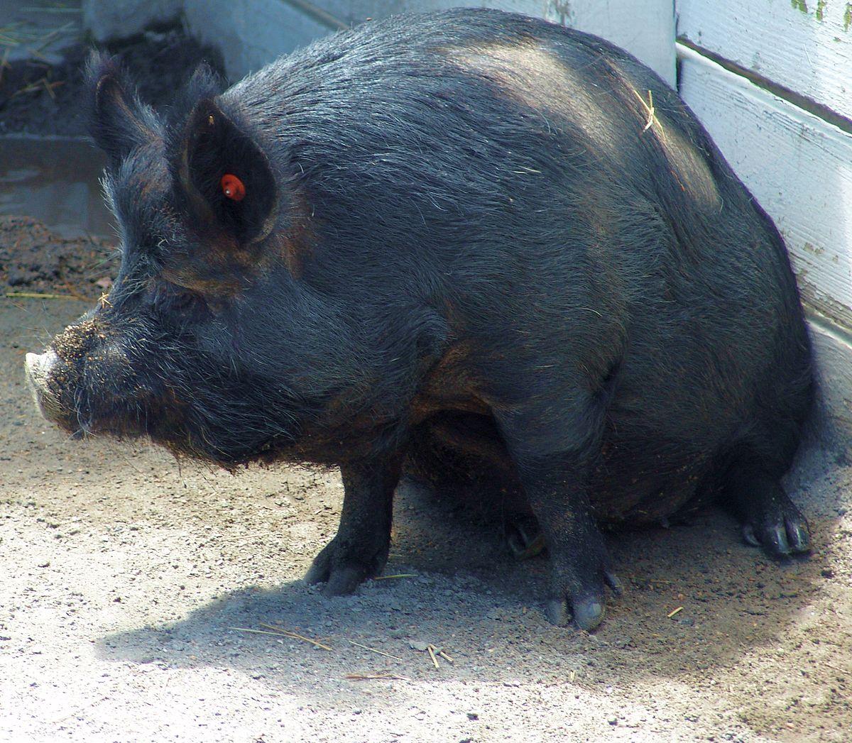 guinea hog wikipedia