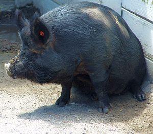 Guinea hog - A Guinea hog at the Virginia Zoological Park
