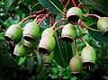 Gum nuts (8065560838).jpg