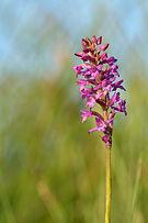 Gymnadenia odoratissima - Lõhnav käoraamat Niitvälja.jpg