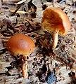 Gymnopilus bellulus 597618.jpg