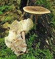 Gymnopus dichrous (Berk. & M.A. Curtis) Halling 241738.jpg