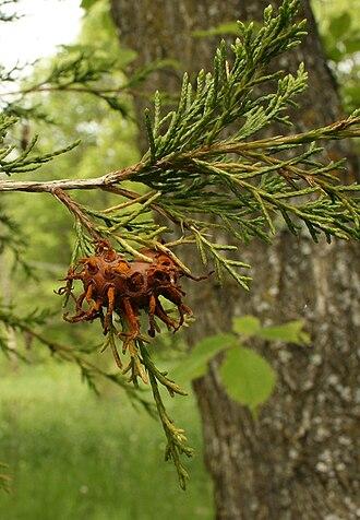 Gymnosporangium juniperi-virginianae - Image: Gymnosporangium juniperi virginianae