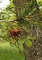 Gymnosporangium-juniperi-virginianae.jpg
