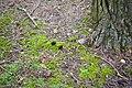 Gyromitra esculenta (49572178278).jpg