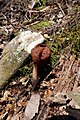 Gyromitra esculenta 101988974.jpg
