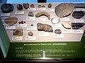 HKU 香港大學 Stephen Hui Geological Museum 許士芬地質博物館 Late Paleozoic 晚古生代 Corals Marine life rocks Oct 2016 Lnv 04.jpg