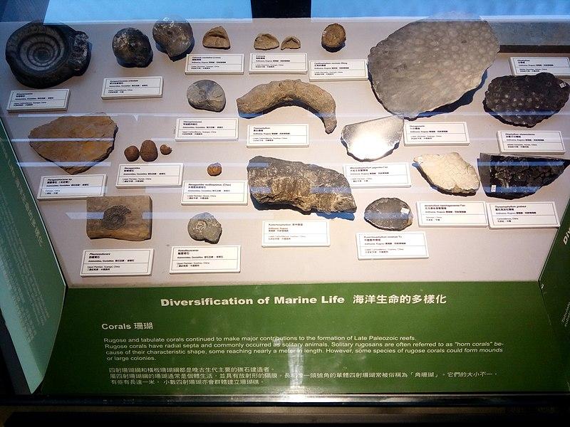 File:HKU 香港大學 Stephen Hui Geological Museum 許士芬地質博物館 Late Paleozoic 晚古生代 Corals Marine life rocks Oct 2016 Lnv 04.jpg