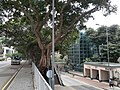 HK 半山區 Mid-levels 般咸道 Bonham Road Chinese bunyan trees February 2020 SS2 05.jpg