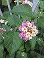 HK CWB 銅鑼灣道 Causeway Bay Road plant 馬纓丹 Lantana camara 火龍徑 Fire Dragon Path Nov 2017 IX1 colour small flowers 04.jpg