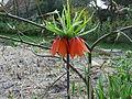 Habitus Fritillaria imperialis orange.JPG