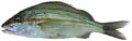 Haemulon aurolineatum - pone.0010676.g090.png