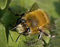 Hairy-footed Flower Bee (25780187802).jpg