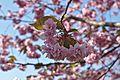 Hakodate Goryōkaku Park Sakura May 2016 5.jpg