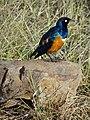 Hamakop Bird - Mikumi National Park - Tanzania (8892877831).jpg