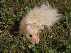 Hamster doré angora beige.jpg