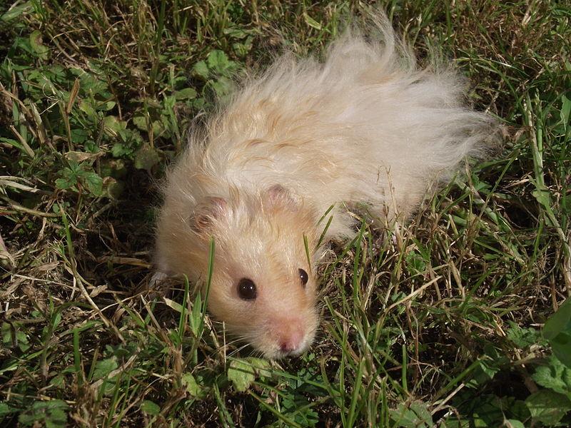 File:Hamster doré angora beige.jpg