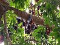 Hanging bats, Tekek, close to the airport of Tioman - panoramio.jpg