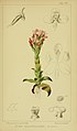 Harry Bolus - Orchids of South Africa - volume III plate 046 (1913).jpg
